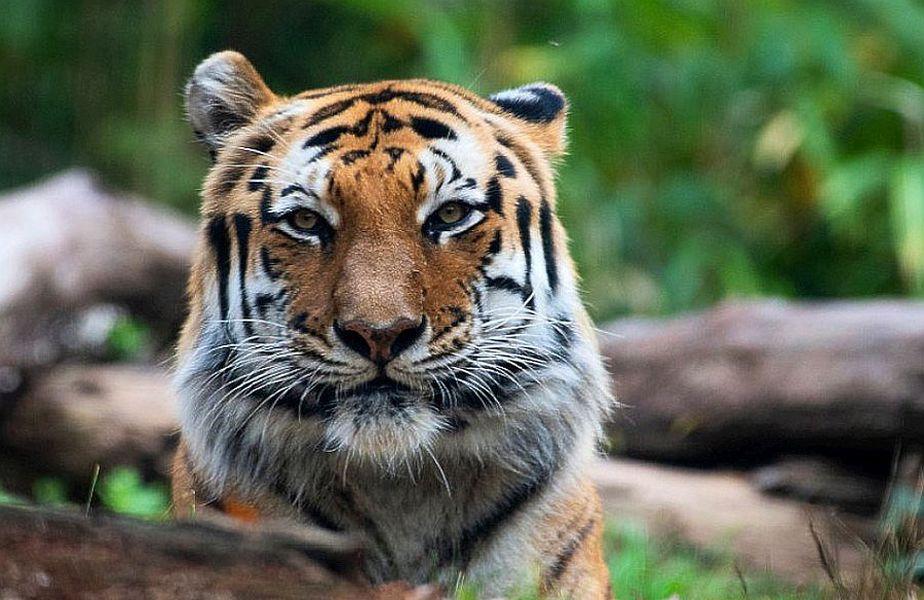 Un tigru din New York are coronavirus // FOTO: Facebook.com/bronxzoo/