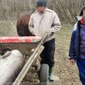 Morunul de 140 de kilograme a fost eliberat / Sursă foto: Poliția de Frontieră