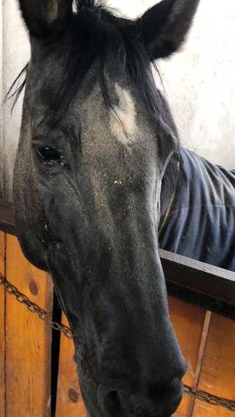 Siker, calul fost multiplu campion național și balcanic, ținut de CSA Steaua în condiții improprii la o bază hipică privată